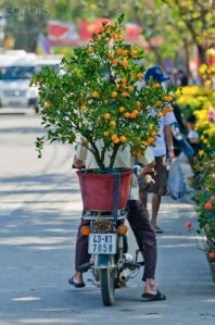 Man Delivers Kumquat Tree for Tet in Hoi An, Vietnam